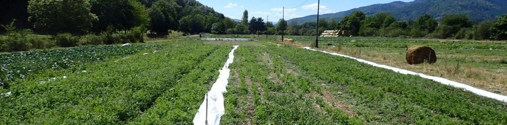 Test de strip-till sur semis de carottes