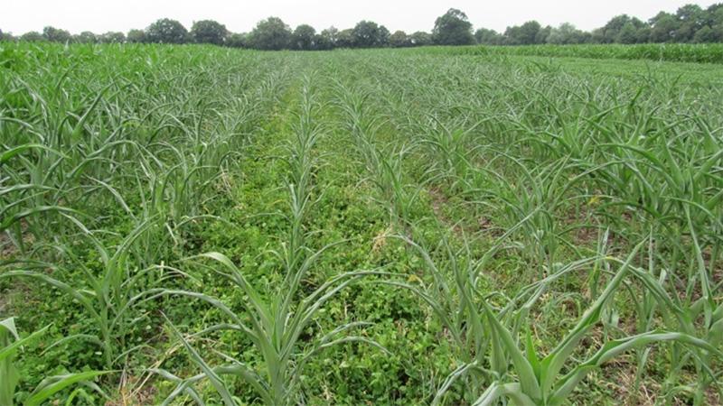 Cultiver le maïs sur couvert pérenne ?