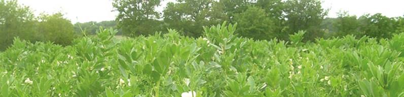 Quel est l'effet fertilisant des cultures intermédiaires ?